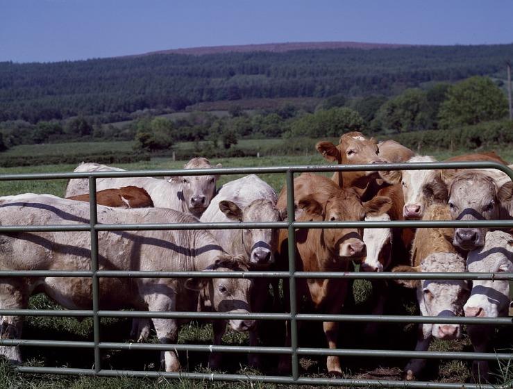 cattle-720044__340.jpg